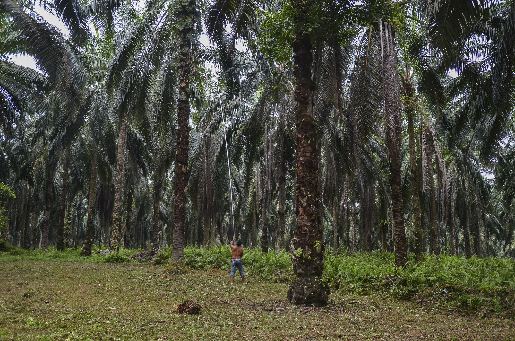 8.4 million people are employed in Indonesia's palm oil industry