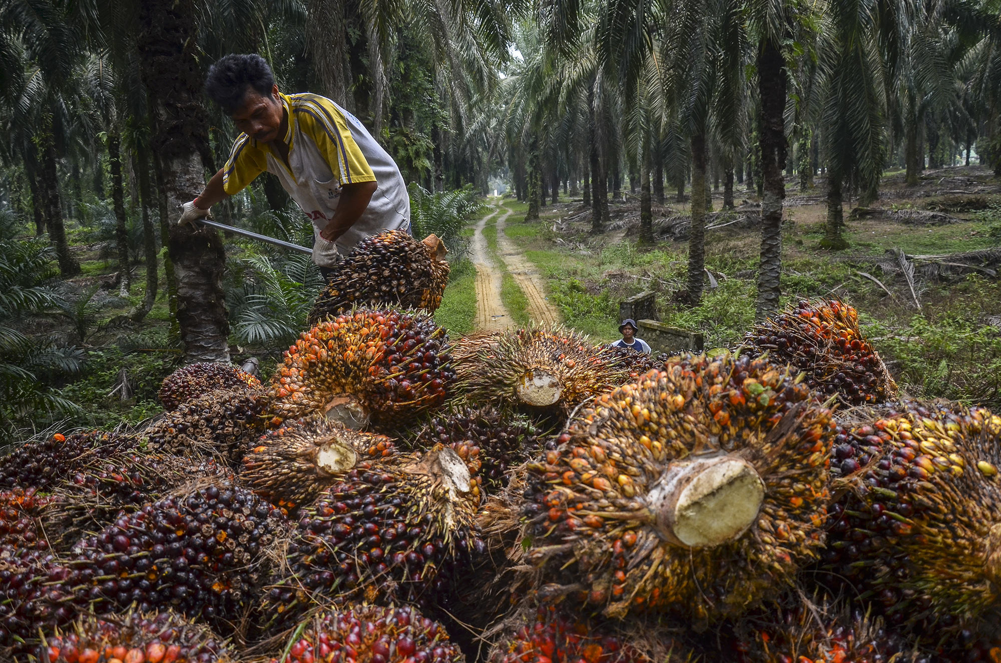 Harvested oil palm