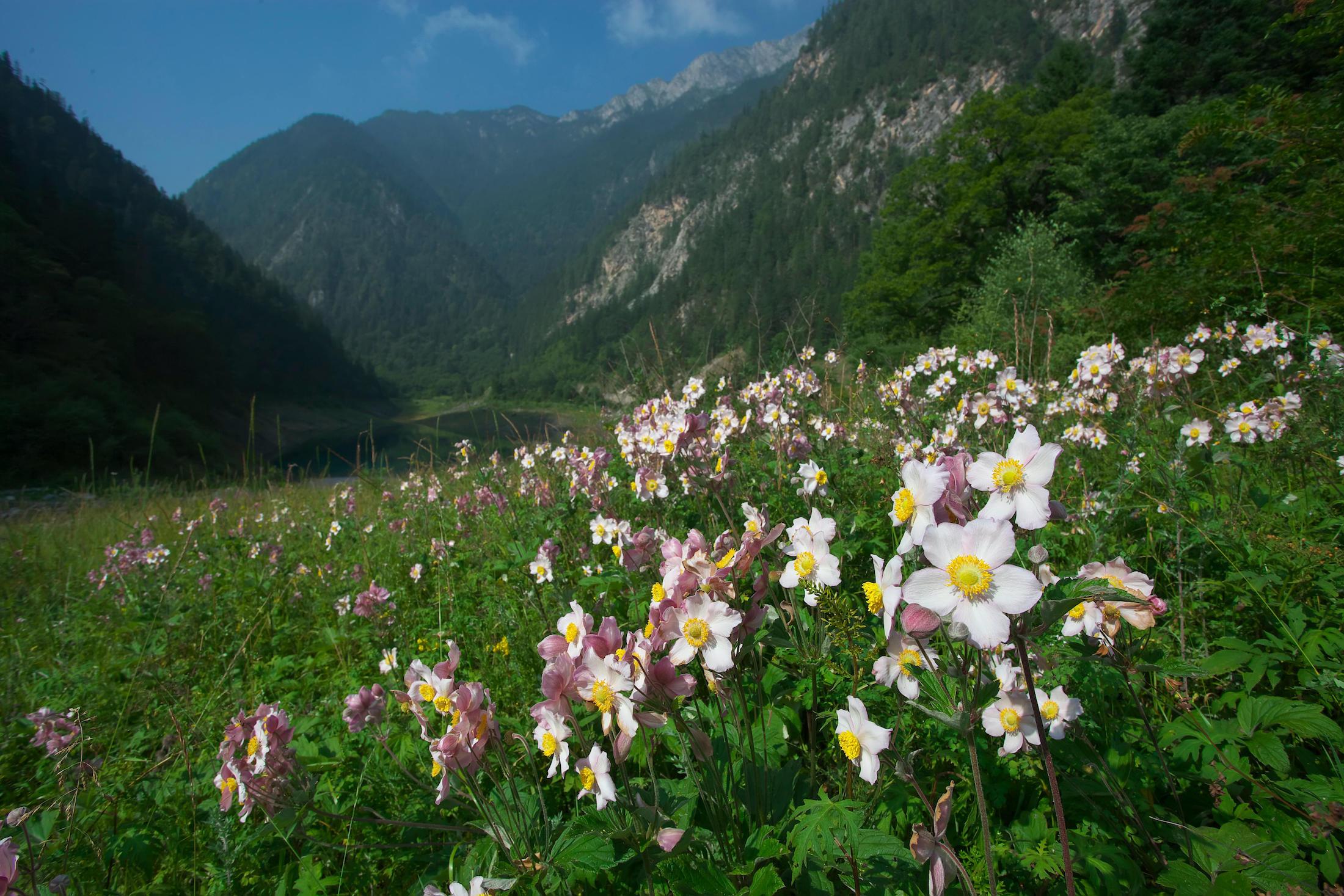 Grapeleaf anemone flower on a sunny hilldside, Jiuzhaigou