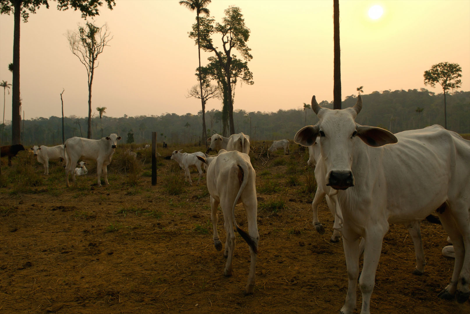 Cattle ranching on Amazon frontier