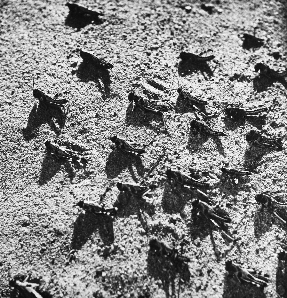 locust swarm in Pakistan, 1952