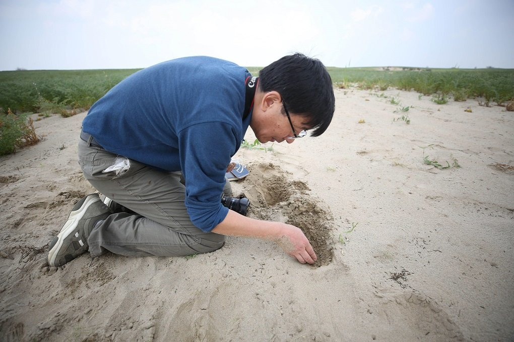 chinese locust expert searches for eggs in the sand