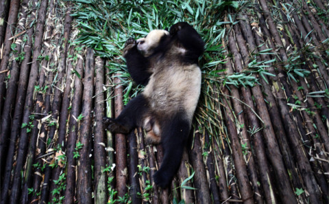 Main gallagher giant panda 7