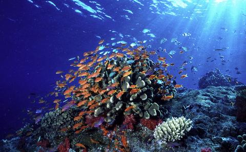Main coral and anthias  fiji  1