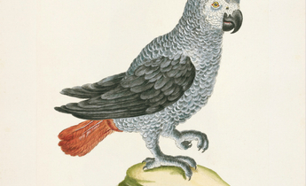 Aside 33 african grey parrot meitu 1
