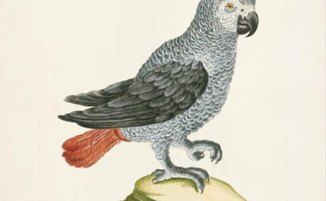 Homepage 33 african grey parrot meitu 1