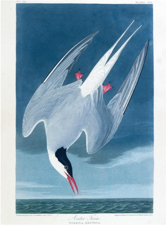 Main 77 arctic tern meitu 4
