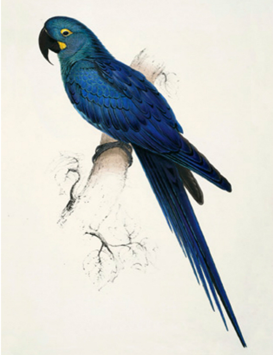 Main 182 lear s macaw meitu 6