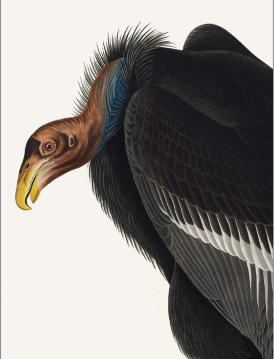 Main 188 california condor