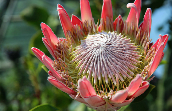 Main king protea 7