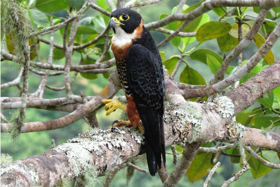 Main falco deiroleucus 2000